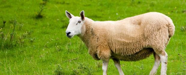 sheep-164960_1280